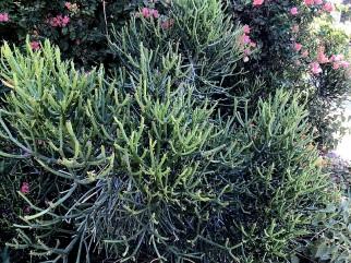 Euphorbia tirucalli IMG_2473-003