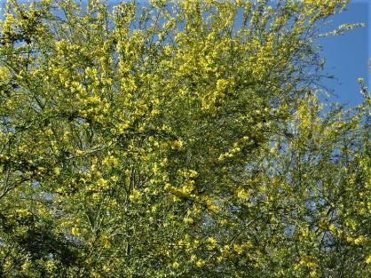 Parkinsonia_Cercidium floridum IMG_1474 (2)