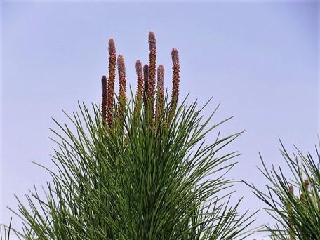 Pinus canariensis_IMG_8706 (2)
