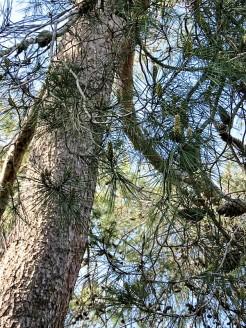 Pinus halepensis IMG_9587-001 (2)