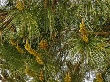 Pinus halepensis_IMG_8603 (2)