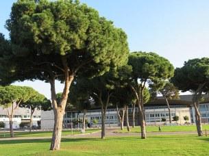 Pinus pinea_IMG_5977-002