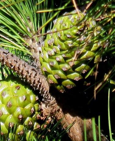 Pinus pinea_IMG_9844-003 (2)