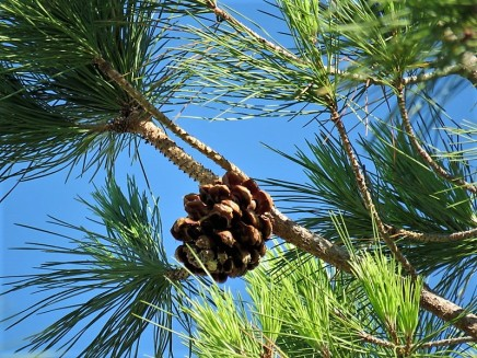 Pinus pinea_IMG_9859 (2)