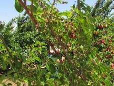 Prunus cerasifera IMG_0661-001