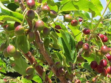 Prunus cerasifera IMG_0665-001