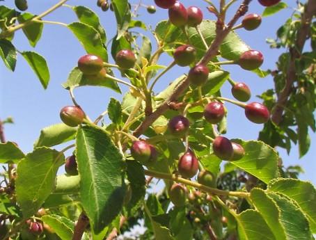 Prunus cerasifera IMG_0666-002 (2)
