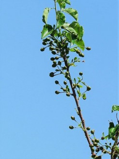 Prunus cerasifera IMG_0669 (4)