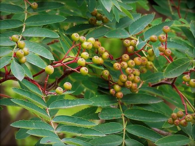 Riabina_obykn_Sorbus aucuparia_IMG_4658 (3)