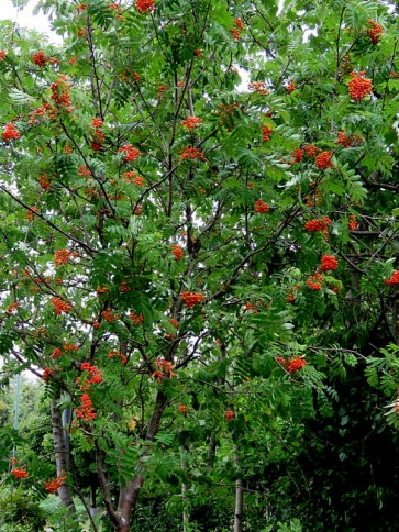 Riabina_obykn_Sorbus aucuparia_IMG_6654-001