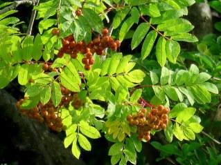 Riabina_Sorbus aucuparia_IMG_6422-005