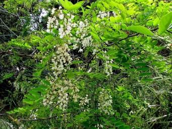 Robinia pseudoacacia-1 (2)
