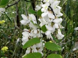 Robinia pseudoacacia-2 (2)