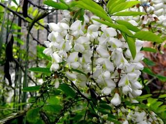 Robinia pseudoacacia-4 (2)