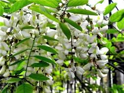 Robinia pseudoacacia-5 (2)