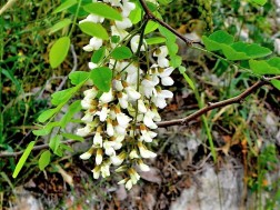 Robinia pseudoacacia-6 (2)