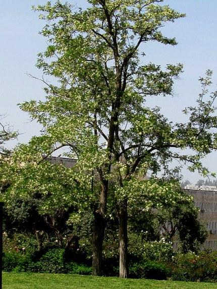 Robinia pseudoacacia IMG_7753-002