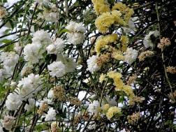 Rosa banksiae 'Lutea'-2 (2)