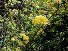 Rosa banksiae 'Lutea'-3 (2)
