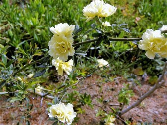 Rosa banksiae 'Lutea'-4 (2)