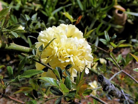 Rosa banksiae 'Lutea'-5 (2)