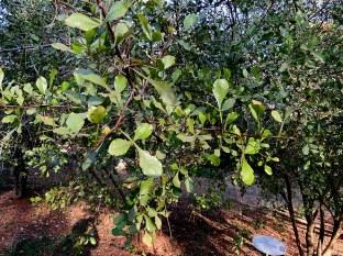 Searsia (Rhus) undulata IMG_5590-001