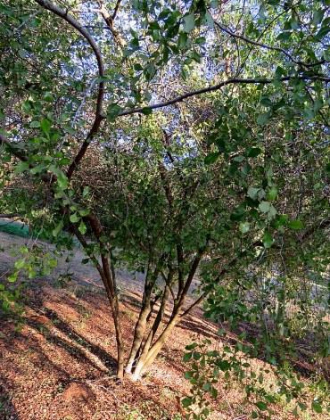 Searsia (Rhus) undulata IMG_5591-002