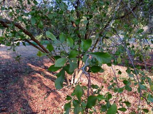 Searsia (Rhus) undulata IMG_5592-001
