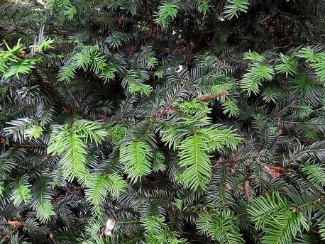 Sequoia sempervirens_IMG_3687-003 (2)