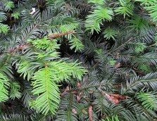 Sequoia sempervirens_IMG_3687-004