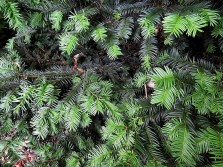 Sequoia sempervirens_IMG_3688-001 (2)