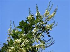 Sophora japonica_IMG_3778 (2)