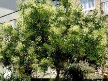 Sophora japonica_P1010851-001