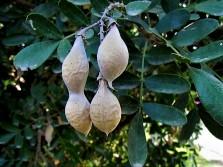 Sophora secundiflora_IMG_0085 (2)