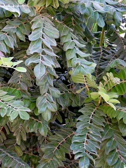 Sophora tomentosa_IMG_1084-001