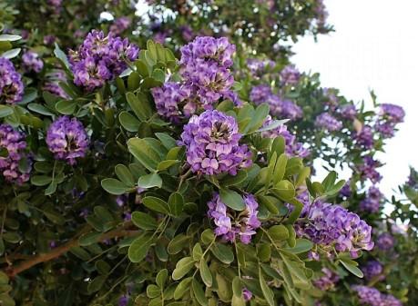 Sophora_secundiflora_IMG_9980 (2)