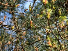 Sosna_gorn_Pinus mugo_IMG_5903-001