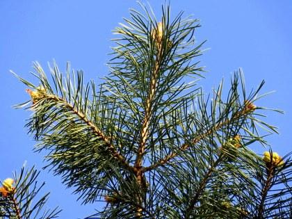 Sosna_gorn_Pinus mugo_IMG_5904-001