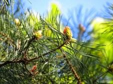 Sosna_gorn_Pinus mugo_IMG_5905-001