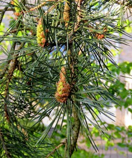 Sosna_gorn_Pinus mugo_IMG_5907-001