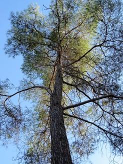 _Sosna_Pinus brutia IMG_5368 (2)