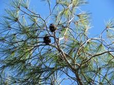 _Sosna_Pinus brutia IMG_5369 (2)