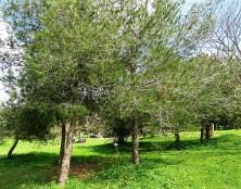 Sosna_Pinus brutia IMG_9370-002 (2)
