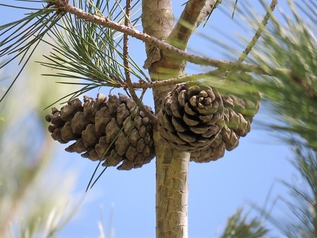 Sosna_Pinus brutia IMG_9373-001 (2)