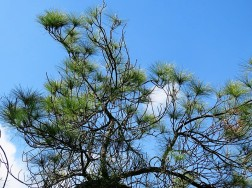 Sosna_Pinus merkusii IMG_9732-001 (2)