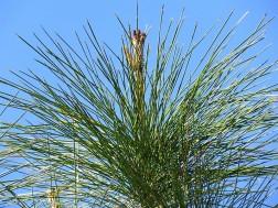 Sosna_Pinus merkusii IMG_9733-001 (2)