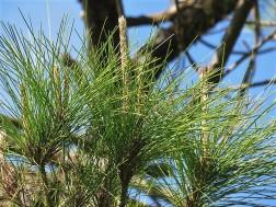 Sosna_Pinus merkusii IMG_9735-001 (2)