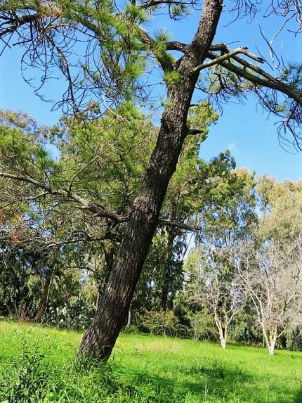 Sosna_Pinus merkusii IMG_9737-001 (2)