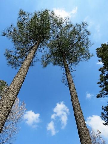 Sosna_Pinus torreyana IMG_9564-001 (2)