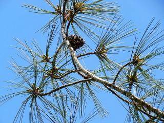 Sosna_Pinus torreyana IMG_9565-001 (2)
